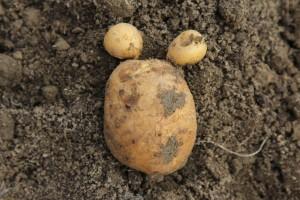 Die Kartoffelmaus