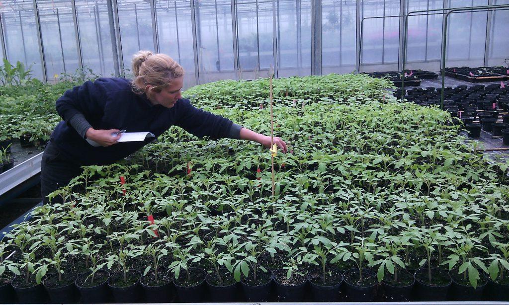 Unsere Tomaten (7 verschiedene Sorten!!) haben wir schon bei der Gärtnerei im Christlichen Jugenddorf in Offenburg abgeholt.